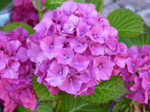 Các loại hoa màu tím và ý nghĩa của chúng