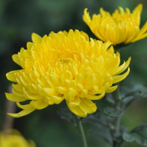 Những loại hoa tặng mẹ ý nghĩa