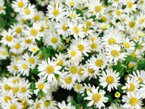 Ý nghĩa của hoa cúc họa mi – loài hoa nhỏ bé mang sức mạnh to lớn
