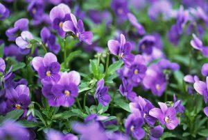 Ý nghĩa của hoa violet trong văn hoá phương Tây
