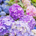 Hoa cẩm tú cầu giá bao nhiêu?