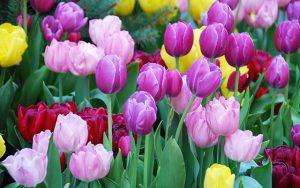 Cách Trồng Hoa Tulip Đẹp