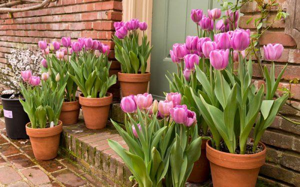 Cách Trồng Hoa Tuplip Nở To Và Đẹp