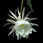 Những Loài Hoa Chỉ Nở Về Đêm