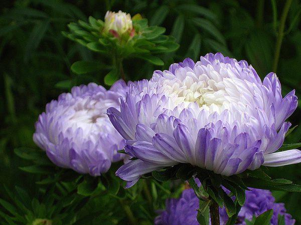 Những Loại Hoa Cúc Màu Tím Đẹp Nhất