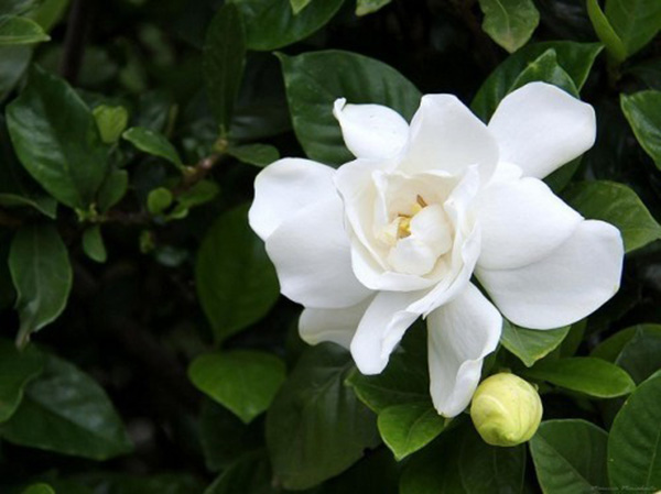 Top 5 Loài Hoa Có Hương Thơm Nhất Thế Giới