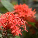 Hoa Mẫu Đơn Có Những Loại Nào?