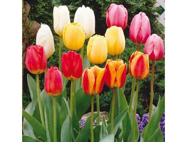 Ý Nghĩa Các Màu Hoa Tulip