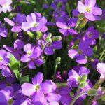 Cách Trồng Và Chăm Sóc Cây Hoa Violet
