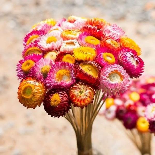 Công Dụng Của Tinh Dầu Hoa Cúc Bất TửCông Dụng Của Tinh Dầu Hoa Cúc Bất Tử