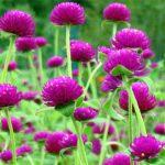 Cách Trồng Và Chăm Sóc Hoa Cúc Bách Nhật Đơn Giản Tại Nhà